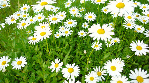Meadow full of daisies on a summer day Footage