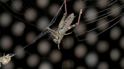 Grasshopper caught in spider web as an orb spider waits close by. Concept of ビデオ