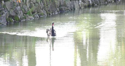 Black swan ライブ動画