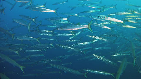 Underwater wildlife - Big school of barracuda fish in dark blue water - Scuba diving in Majorca Live Action