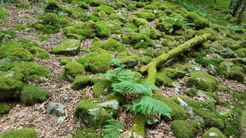 Woodland Ground With Moss Covered Rocks Live Action