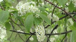 White flowers bird cherry tree Footage