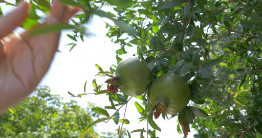Woman with cell shooting pomegranates on the tree Footage