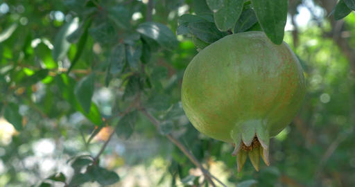 One Green Maturing Pomegranate Stock Video Footage