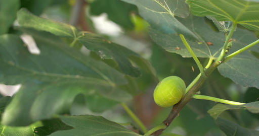 Green Fig Growing on the Branch Footage