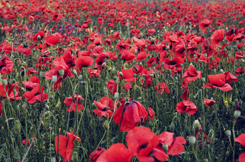 large field with red flowering poppies Photo