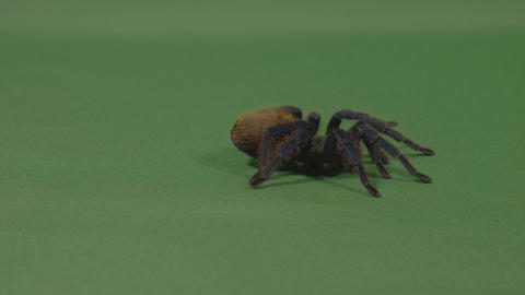 Exotic large tarantula spider crawling on green screen Footage