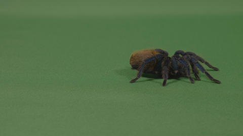 Exotic large tarantula spider crawling on green screen Stock Video Footage