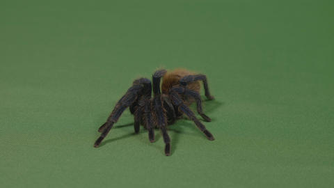 Fearful tarantula spider adopting a defensive position on green screen Footage