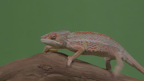 Exotic chameleon and worm both standing on piece of bamboo wood in front of Footage
