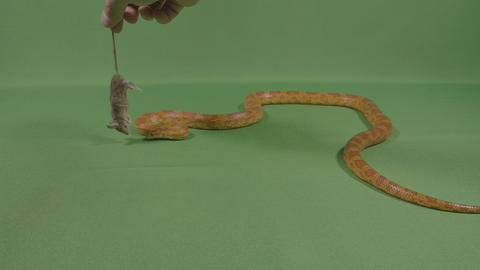 Human hand giving a dead mouse to viper snake to eat ビデオ