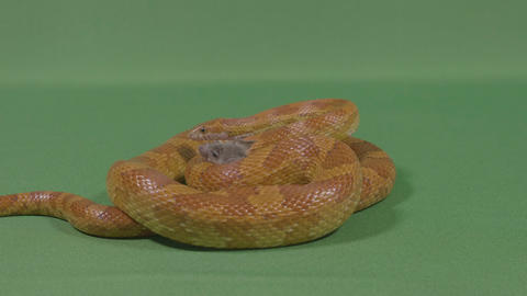 Constrictor dangerous snake trapping the poor mouse prey… Stock Video Footage