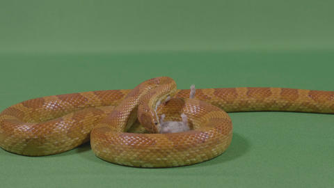 Terrifying hungry serpent devouring his prey a dead mouse Footage