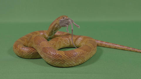 Constrictor dangerous snake swallowing the poor mouse prey and eating it Live Action