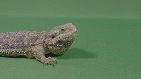 Portrait of lizard iguana standing on green background exotic animal concept Footage