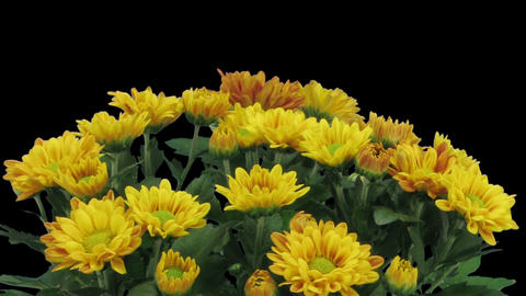 Time-lapse of opening orange chrysanthemum flower in RGB + ALPHA matte format Footage