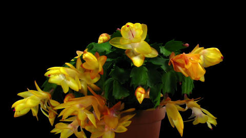 Time-lapse of growing and blooming orange Christmas cactus in RGB + ALPHA matte  Footage