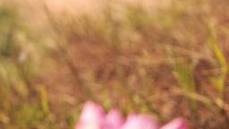 Wind Shakes Pink Lotus against White Sand Dunes Footage