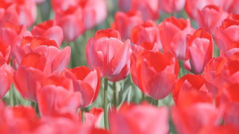 Tulip Flowers,at Showa Memorial Park,Tokyo,Japan,Filmed in 4K ビデオ