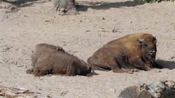 European bison bathing in the sand. Bison bonasus, wisent Live Action