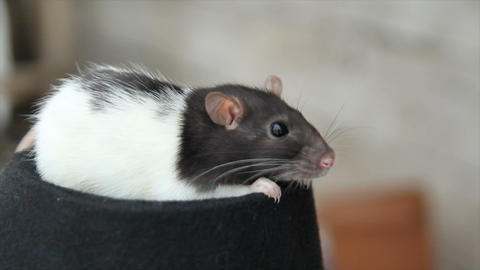 close-up of a domestic furry and funny rat. Our pets ビデオ