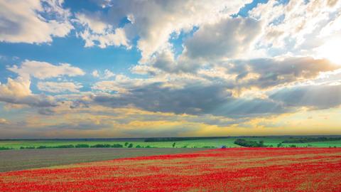 Poppy Field Harvesting 영상물