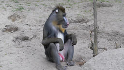 Male of Mandrill monkey. Mandrillus sphinx Footage