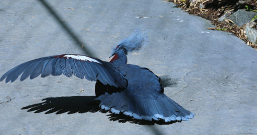 Southern Crowned Pigeon Opening Wings Live Action
