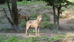 Two gray wolfs in a forest. Canis lupus Footage