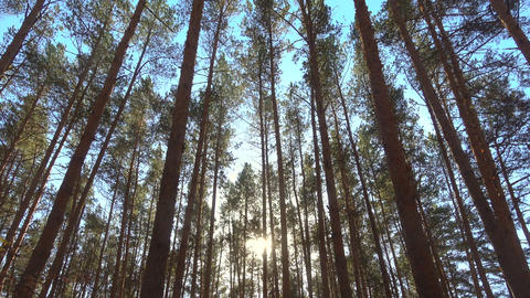 High pines trees in forest on wind at beautiful day, sun through trees Footage