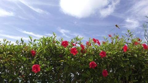 Hibiscus flowers blooming in the park Footage