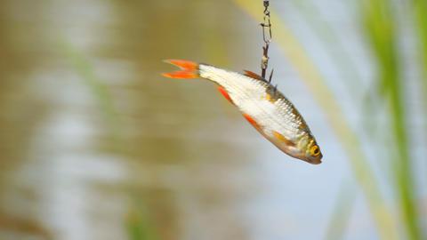 Live bait for pike fishing 영상물