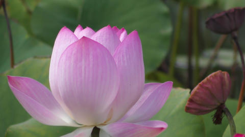Lotus flower blooming in pond Live Action