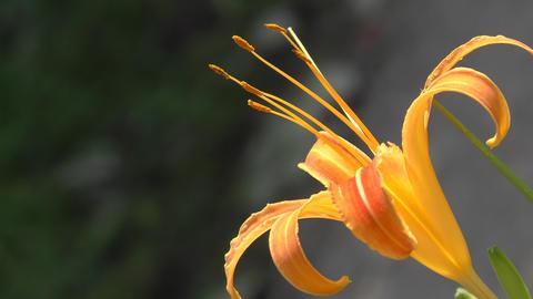 クァンソーの花 ビデオ