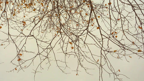 Last golden autumn leaves on branches and grey overcast sky Footage