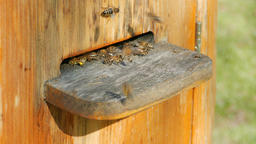 Bees flying into beehive with a bee pollen Live Action