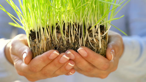 Female hands hold out handful of soil with green grass. Concept of growth, care Footage