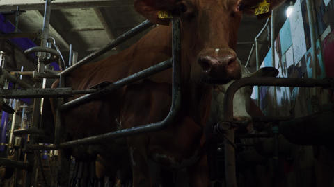 Cows are in the aviary during milking milking machine in the barn Live Action