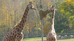 Two giraffes eating 2 Live Action
