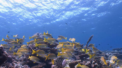 A colorful flock of fish snappers Footage