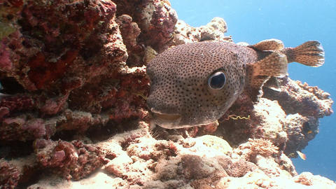 Funny and very trusting puffer fish Footage