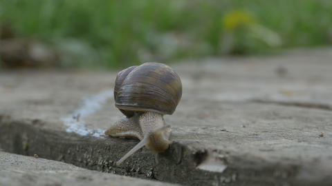 Snail Crawling on Plank Footage