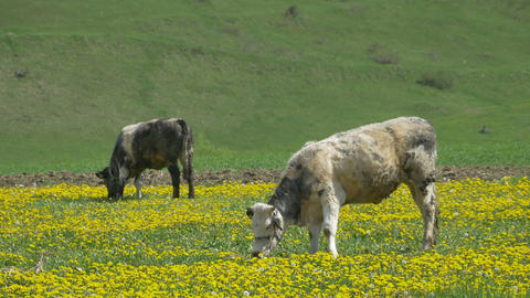 Cows Grazing on Spring Nature Footage