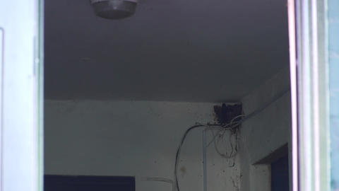 Swallows nest in the corner of the room Footage