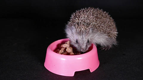 Wild hungry hedgehog act as domestic pet Footage