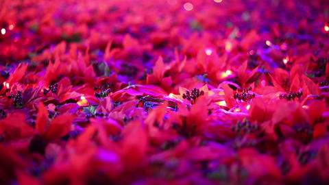 Romantic Christmas decoration. Poinsettia flower fields blowing in the breeze Footage