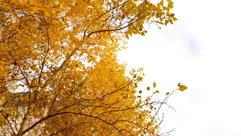Branches with yellow leaves on wind in slow motion, with copy space on cloudy Footage