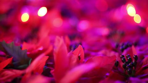 Romantic Christmas decoration. Beautiful poinsettia artificial flowers blowing Archivo
