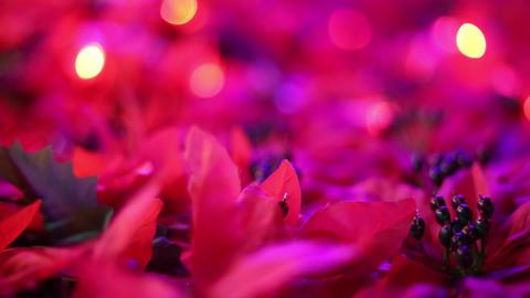 Romantic Christmas decoration. Beautiful poinsettia... Stock Video Footage