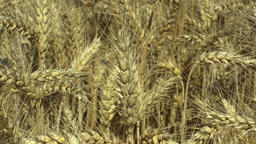 Fields with wheat Triticum durum bio gold mature ear and class, pasta or ビデオ